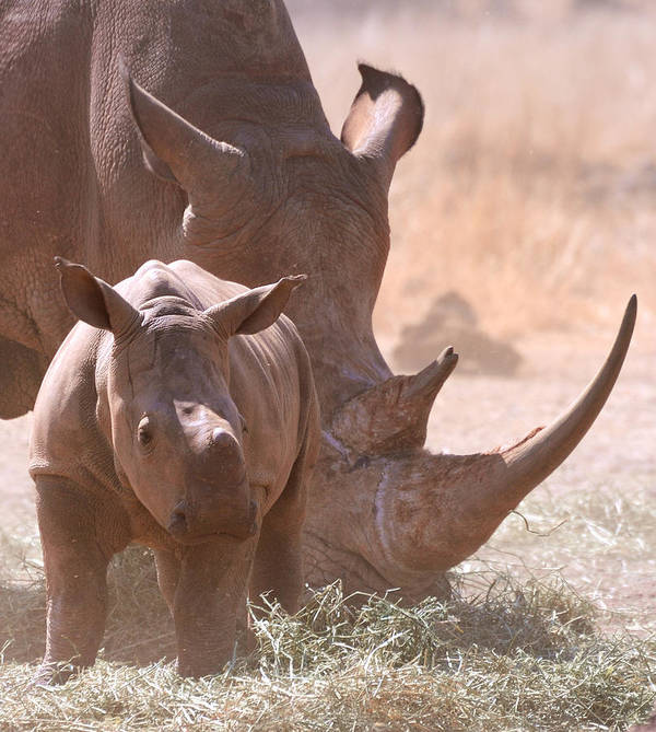 Vertical Art Print featuring the photograph Rhinoceros With Calf by Photo by Martin Heigan.