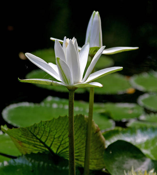 White Water Lilies Art Print featuring the photograph White Water Lily by Lisa Spencer