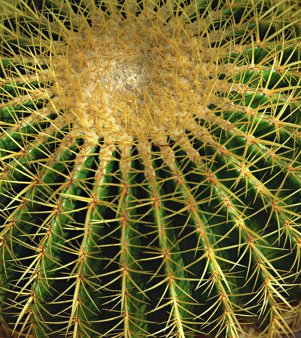 Barrel Cactus Art Print featuring the photograph Barrel Cactus by AJ Harlan