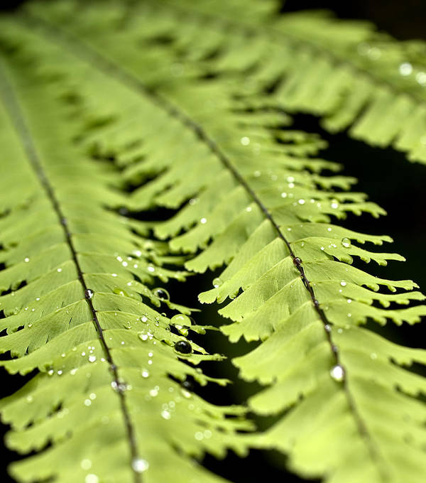Ferns Art Print featuring the photograph Fern by Jessica Wakefield