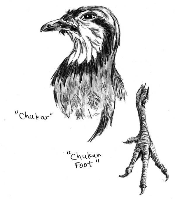 Chukar Art Print featuring the drawing Head And Foot Of A Chukar by Kevin Callahan