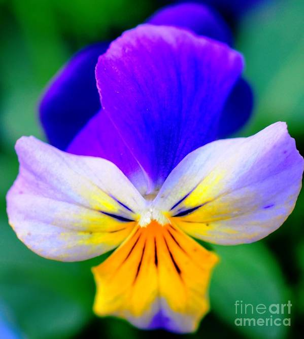 Pansy Art Print featuring the photograph Pansy by Kathleen Struckle