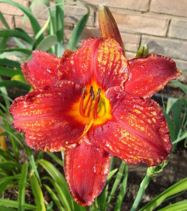Daylily Art Print featuring the photograph Red Daylily by Tong Steinle