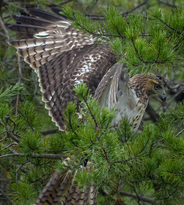 Alert Art Print featuring the photograph Red-tailed Hawk by Brian Stevens