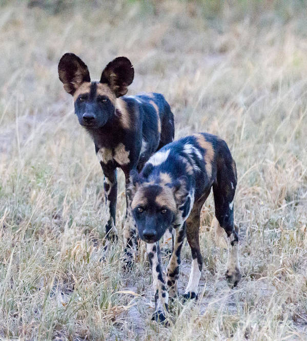 African Wild Dog Art Print featuring the photograph African Cape Hunting Dogs by Chris Scroggins