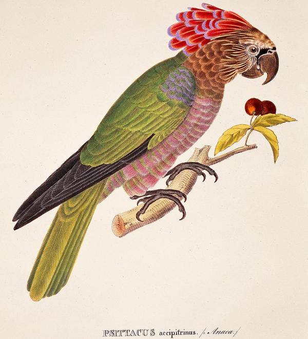 Bird; Parrot; Exotic; Colourful; Bright; Feathers; Plumage; Perched; Perch; Branch; Study; Drawing; Ornithology; Ornithological; Brazilian; South American Art Print featuring the painting Psittacus Accipitrinus by German School