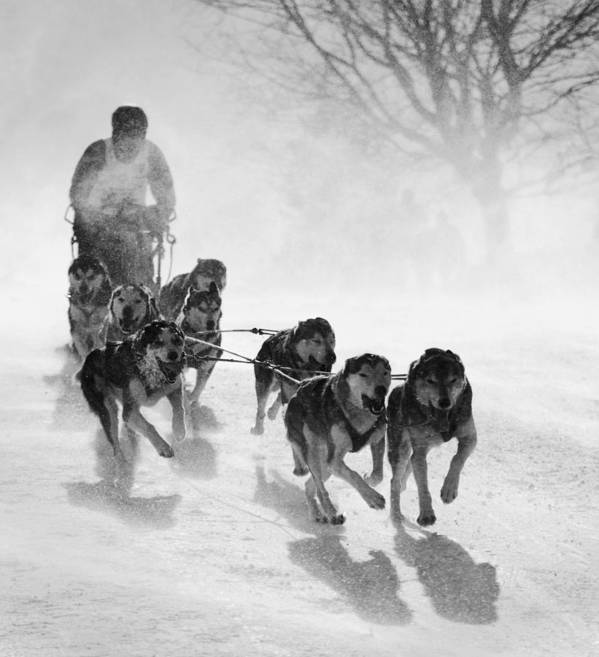 Sled Art Print featuring the photograph Pursuit by Peter Svoboda, Mqep