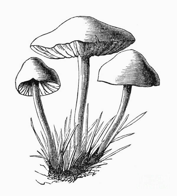 1875 Art Print featuring the photograph Botany: Mushroom by Granger