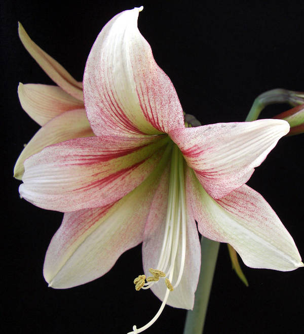 Amaryllis Art Print featuring the photograph Amaryllis by Frederic Kohli