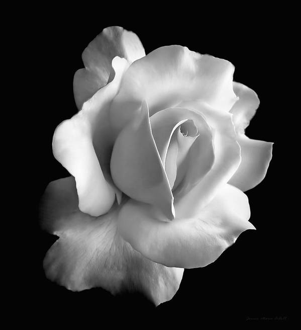 Rose Print featuring the photograph Porcelain Rose Flower Black And White by Jennie Marie Schell