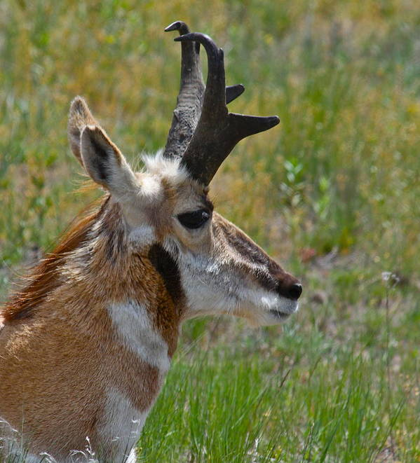 Pronghorn Art Print featuring the photograph Pronghorn Buck Profile by Karon Melillo DeVega