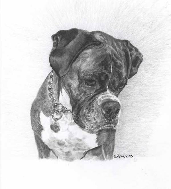 My Boxer Print featuring the drawing Tyson by Marlene Piccolin