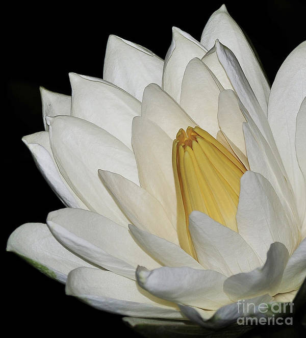 Water Lilies Art Print featuring the photograph water lily 28 White Night Blooming Water Lily II by Terri Winkler