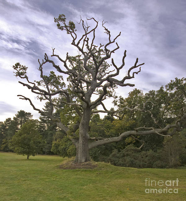 Woodhall Spa Golf Course Art Print featuring the photograph Sentry Oak by Darren Burroughs