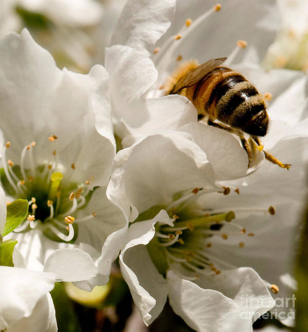 Bee Print featuring the photograph Spring Time Cherry Blossoms by Artist and Photographer Laura Wrede
