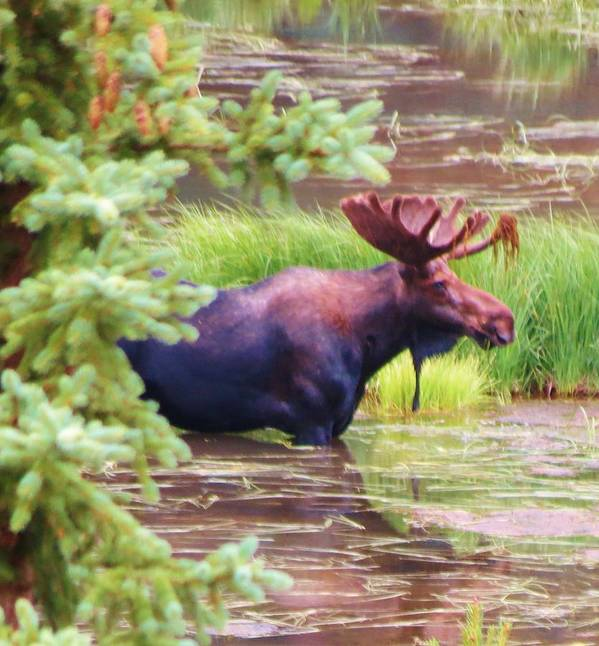 Moose Art Print featuring the photograph Wet And Wild by Feva Fotos