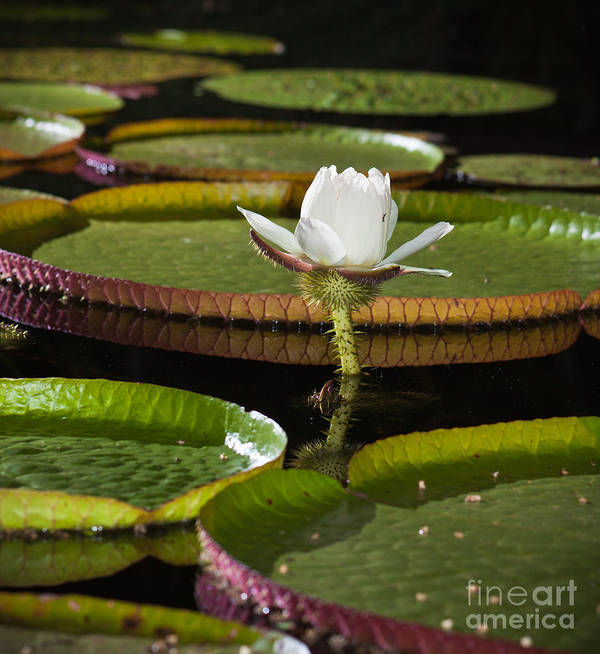 Water Art Print featuring the photograph Water Lily by Johan Larson
