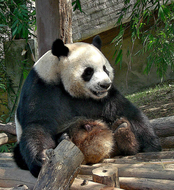 Panda Bear Photograph Fine Art Art Print featuring the photograph Then She Says by Roy Foos