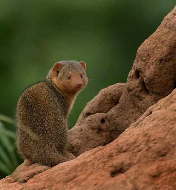 Mongoose Art Print featuring the photograph Mini Mongoose by Joseph G Holland
