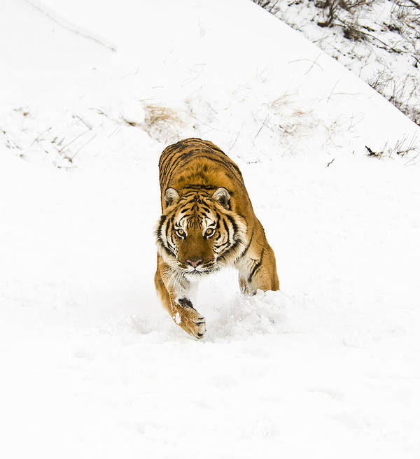 Tiger Art Print featuring the photograph Running Tiger by Scott Read