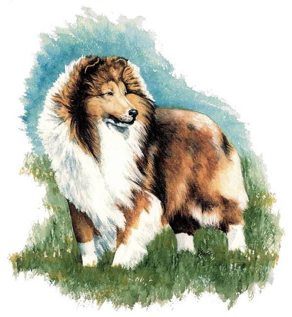 Shetland Sheepdog Art Print featuring the painting Sheltie Watch by Kathleen Sepulveda