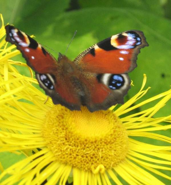 Yellow Art Print featuring the photograph Yellow Daisy With Butterfly by Margaret Thomson