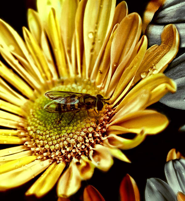 Animal Art Print featuring the photograph Bee by Devin Rader