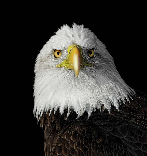 Animal Themes Art Print featuring the photograph Bald Eagle by Dansphotoart On Flickr