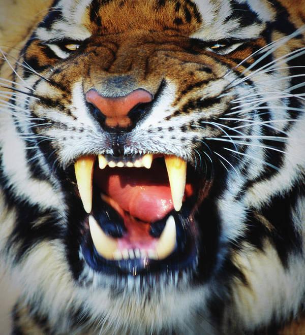 Snarling Art Print featuring the photograph Bengal Tiger Panthera Tigris Tigris by Mike Hill