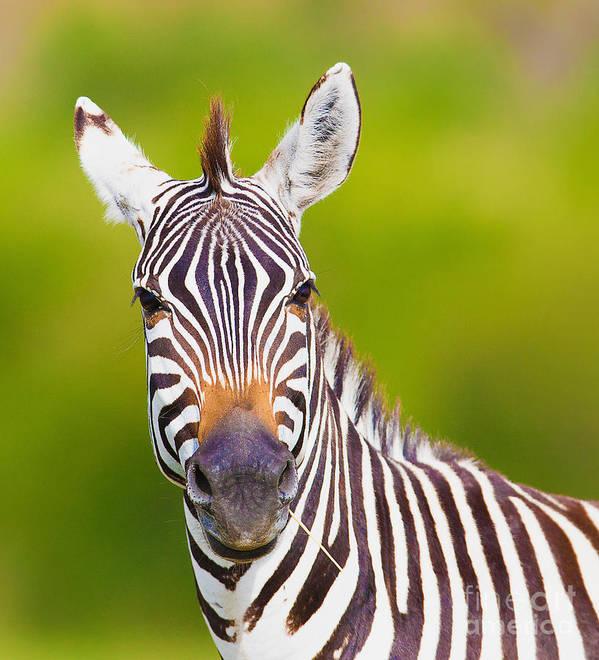 Game Art Print featuring the photograph Closeup On Beautiful Zebras Head by Sergei Kolesnikov