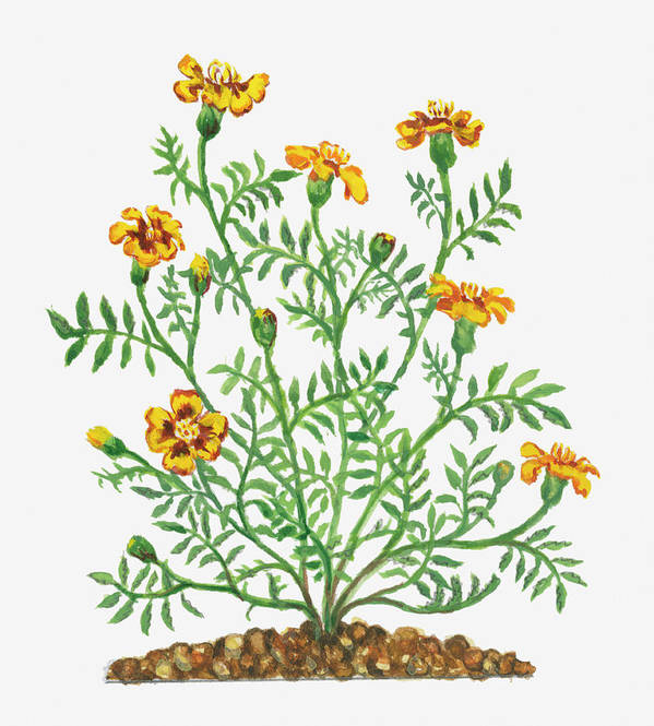 Long Art Print featuring the digital art Illustration Of Tagetes Patula French by Dorling Kindersley