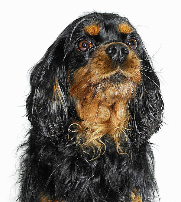 Pets Art Print featuring the photograph King Charles Cavalier Portrait by Gandee Vasan