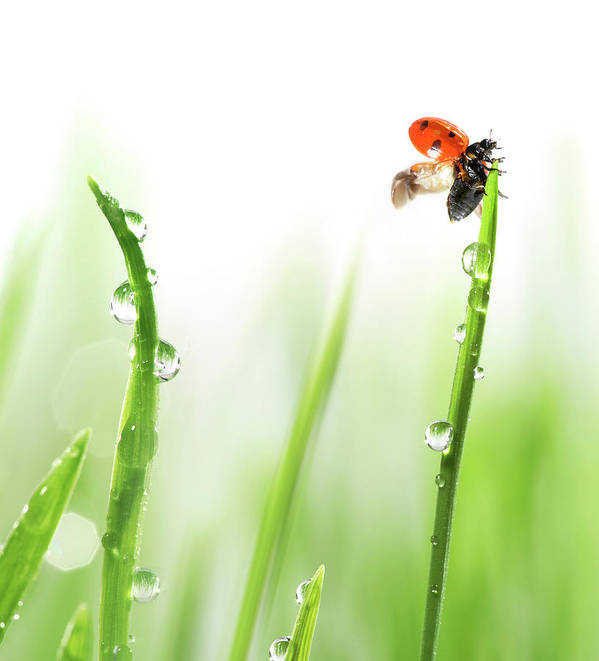 Hanging Art Print featuring the photograph Ladybug On Green Grass by Sbayram