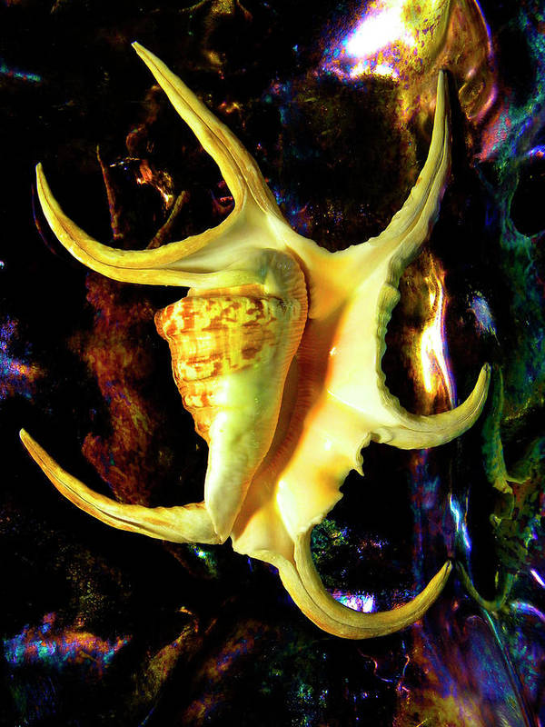 Frank Wilson Art Print featuring the photograph Arthritic Spider Conch Seashell by Frank Wilson