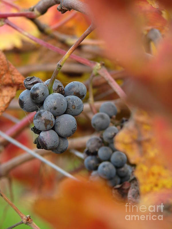 Grapes Art Print featuring the photograph Grape Vine Closeup by Jeff White