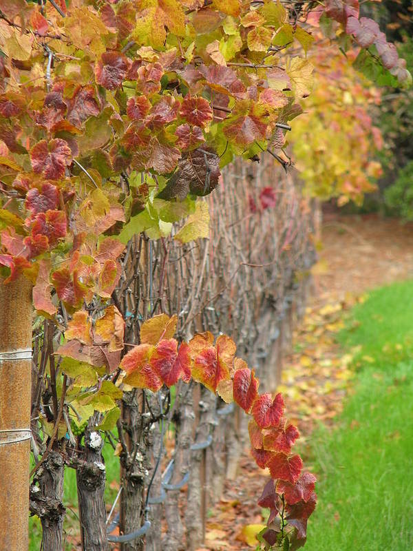 Grapes Art Print featuring the photograph Grape Vines In Fall by Jeff White