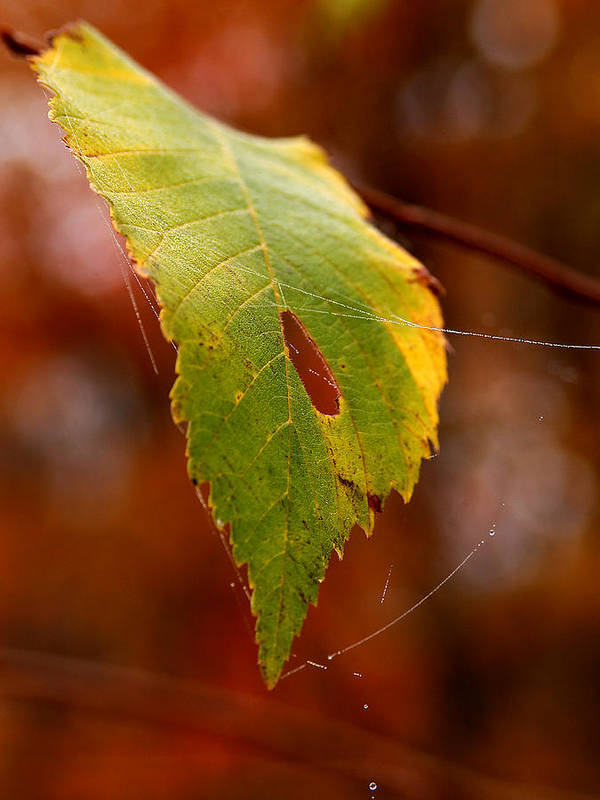 Leaves Art Print featuring the photograph Green Silk by Linda McRae
