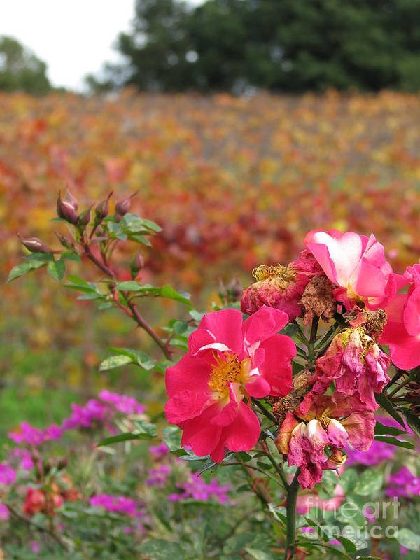 Pink Art Print featuring the photograph Pink Roses In Fall by Jeff White