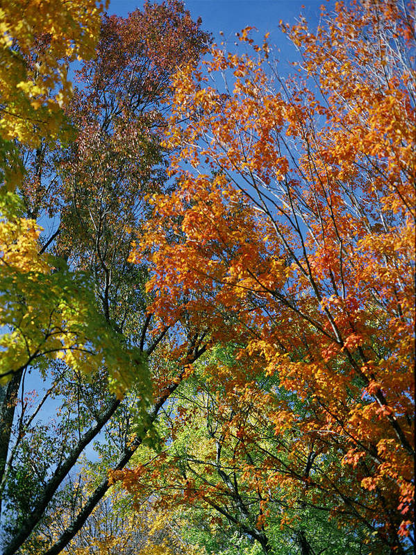 Trees Art Print featuring the photograph Study For Autumn 2 by Steve Parrott