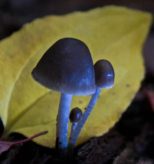 Mushrooms Art Print featuring the photograph Three Little Mushrooms by Douglas Barnett