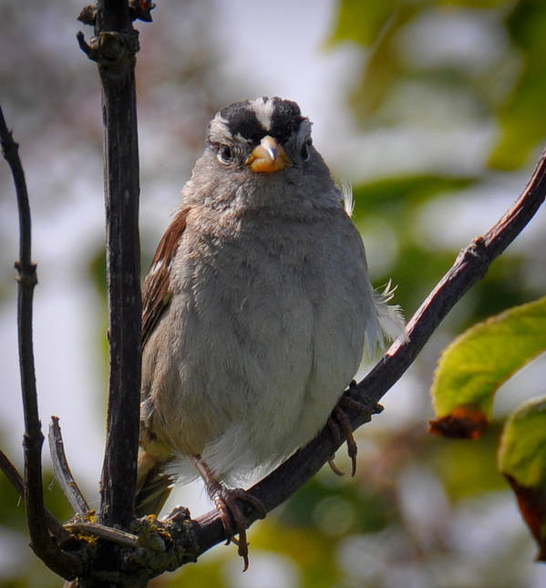 Gambel's White Crowned Sparrow Art Print featuring the photograph Gambel's White Crowned Sparrow by Ronda Broatch
