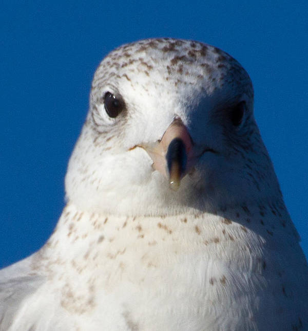 Gull Art Print featuring the photograph In Your Face by Jennifer Stockman
