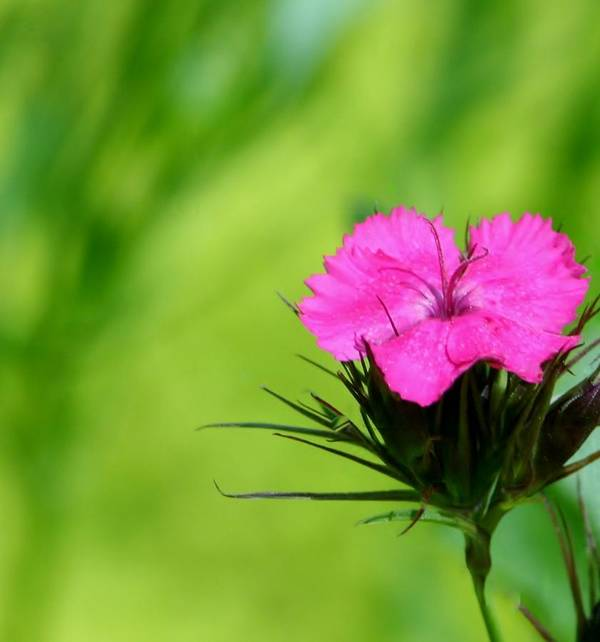 Art Print featuring the photograph One Of The Phlox by Barbara S Nickerson