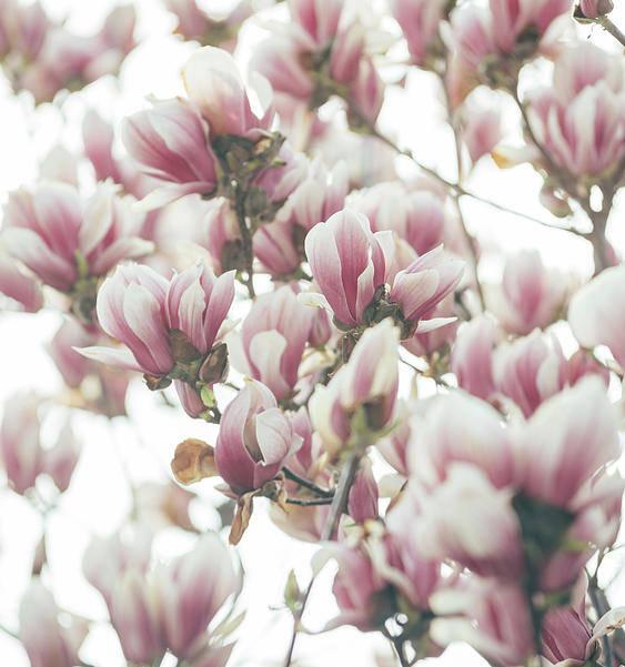 Magnolia Art Print featuring the pyrography Magnolia by Jelena Jovanovic
