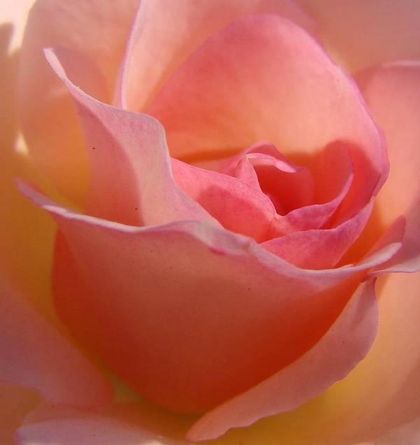 Rose Art Print featuring the photograph Another Pink Rose by Liz Vernand