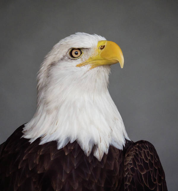 Eagle Art Print featuring the photograph Bald Eagle Portrait by David Ramage