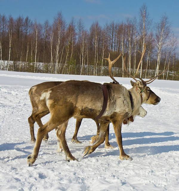 Deer Art Print featuring the photograph Deers Running On Snow by Irina Afonskaya