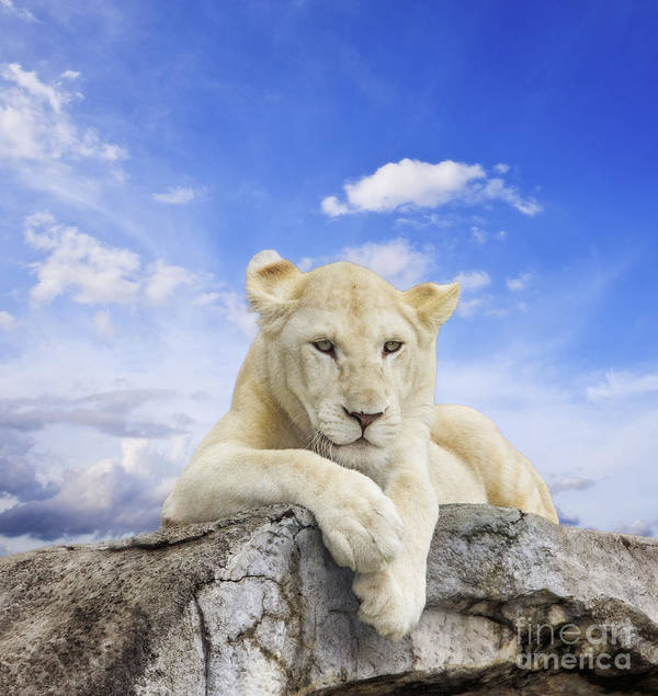 Amazing Art Print featuring the photograph White Lion by Anek Suwannaphoom