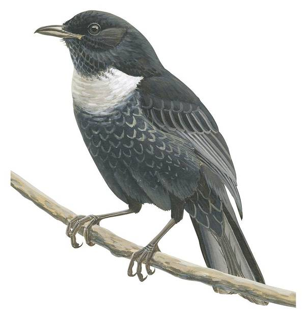 No People; Square Image; Side View; Full Length; One Animal; Animal Themes; Nature; Wildlife; Beauty In Nature; Ring-ouzel; Turdus Torquatus; Perching; Twig; Black; White Print featuring the drawing Ring Ouzel by Anonymous