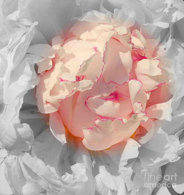 Peony Art Print featuring the photograph White And Pink Lace by Kathleen Struckle